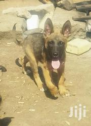 German Shepherd | Dogs & Puppies for sale in Nakuru, Gilgil