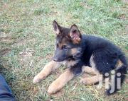 Pure Breed German Shepherd Puppies | Dogs & Puppies for sale in Kiambu, Riabai