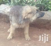 Happy if You Buy for Me That Dog Plz at Affordable Price | Dogs & Puppies for sale in Kiambu, Githiga (Githunguri)