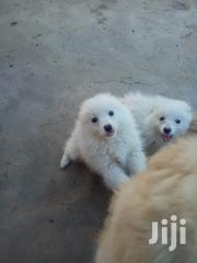 Japanese Spitz Pure Breed | Dogs & Puppies for sale in Kiambu, Juja