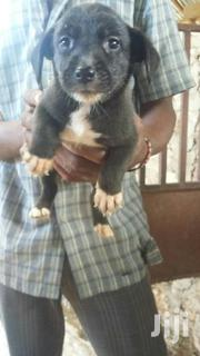 Terrier Cross | Dogs & Puppies for sale in Mombasa, Shanzu