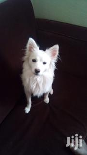 Japanese Spitz Puppy on Sale | Dogs & Puppies for sale in Kajiado, Ongata Rongai