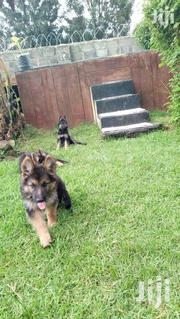 Pure Germany Shepherd | Dogs & Puppies for sale in Kisii, Kisii Central