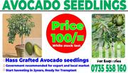 Hass Grafted Avocado Seedlings   Feeds, Supplements & Seeds for sale in Trans-Nzoia, Hospital (Kiminini)
