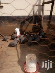 Guinea Fowls | Birds for sale in Kakamega, Mumias Central