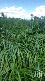 Brachiaria | Feeds, Supplements & Seeds for sale in Nyeri, Mahiga