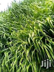 Brachiaria Grass | Feeds, Supplements & Seeds for sale in Nyeri, Mahiga