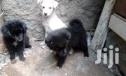Black Puppy Maltosse | Dogs & Puppies for sale in Nairobi, Kayole Central