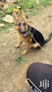 German Shepherd Puppies for Sale | Dogs & Puppies for sale in Nairobi, Kahawa