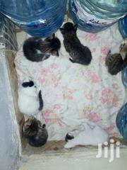 Sweet And Healthy   Cats & Kittens for sale in Mombasa, Bamburi