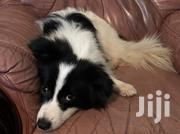 Cross Breed,Sausage Dog And Spitz.Male And Females | Dogs & Puppies for sale in Nairobi, Nairobi Central