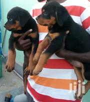 Pure Box Head Rottweiller Puppies Up For Sell | Dogs & Puppies for sale in Mombasa, Shanzu