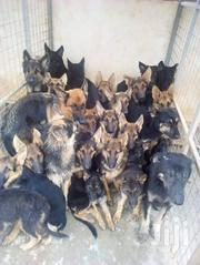 German Shepherd Puppies of Different Ages Available for Sell | Dogs & Puppies for sale in Mombasa, Shanzu
