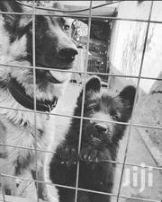German Shepherd | Dogs & Puppies for sale in Kisii, Kisii Central