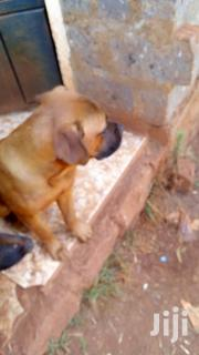 Male Boers | Dogs & Puppies for sale in Nairobi, Karura