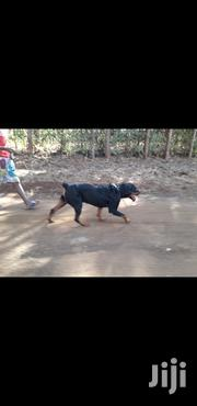 Purebred Adult Rottweiler for Sale | Dogs & Puppies for sale in Kiambu, Ting'Ang'A