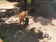 Pure Boerboels | Dogs & Puppies for sale in Mombasa, Bamburi