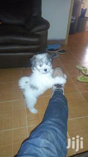 Japanese Spitz + Maltese 3 Months Vaccinated Dewormed | Dogs & Puppies for sale in Nairobi, Nairobi Central