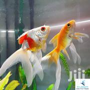 Beautiful Aquarium Fish | Fish for sale in Nairobi, Nairobi Central