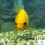 Cute Yellow Comet Ornamental Fish | Fish for sale in Nairobi, Kayole Central