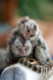 Cute And Well Trained Baby Marmoset Monkeys | Other Animals for sale in Kericho, Chemosot