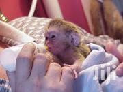 Cute Baby Capuchin Monkeys | Other Animals for sale in Nairobi, Hospital (Matha Re)