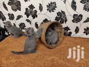 Blue British Shorthair Kittens. | Cats & Kittens for sale in Embu, Kyeni North