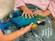Blue And Gold Macaw | Other Animals for sale in Kiambu, Kalimoni
