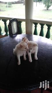 Japanese Spitz Puppies. 2 Males | Dogs & Puppies for sale in Mombasa, Likoni