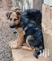 German Shepherd (GSD) Puppies - 4 And Half Months Fully Vaccinated | Dogs & Puppies for sale in Nairobi, Nairobi Central