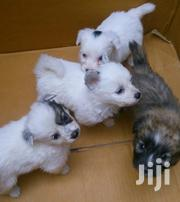 Matlese Puppies Available | Dogs & Puppies for sale in Nairobi, Harambee