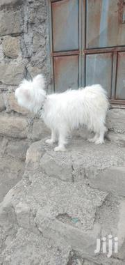 Maltese Dog | Dogs & Puppies for sale in Nairobi, Embakasi
