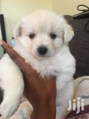 Japanese Spitz Puppies | Dogs & Puppies for sale in Nairobi, Nairobi Central