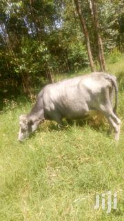Selling Fresian Cow | Livestock & Poultry for sale in Bomet, Kipsonoi