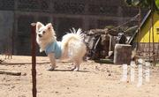 Japanese Spitz Dog | Dogs & Puppies for sale in Nairobi, Nairobi Central