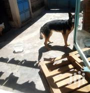 German Shepherd | Dogs & Puppies for sale in Nairobi, Lower Savannah