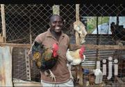 Rainbow Roasters And Kuroiler 1 Days Old Chicks To 1 Month | Livestock & Poultry for sale in Mombasa, Bamburi