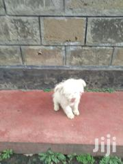 Pure Maltese for Sale | Dogs & Puppies for sale in Nakuru, Nakuru East