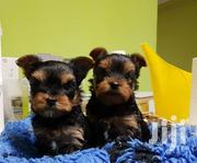 Teacup Yorkie Puppies | Dogs & Puppies for sale in Baringo, Barwessa
