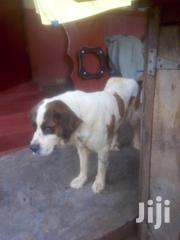 St Bernard | Dogs & Puppies for sale in Nakuru, Gilgil
