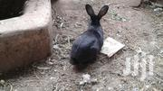 Flemish Giant Rabbits | Livestock & Poultry for sale in Nairobi, Kahawa West