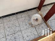 Bax White Long Hair | Dogs & Puppies for sale in Mombasa, Tudor