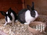 Dutch Breed Rabbits | Other Animals for sale in Nairobi, Riruta