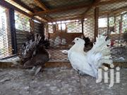 Mature Pair Of Indian Funtail | Birds for sale in Mombasa, Shimanzi/Ganjoni