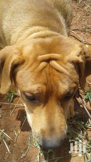 Soth African Boerboel | Dogs & Puppies for sale in Makueni, Emali/Mulala