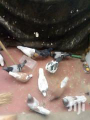 Pigeon And Doves | Birds for sale in Nairobi, Baba Dogo