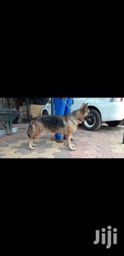 Registered GSD Bitch for Sale. | Dogs & Puppies for sale in Mandera, Township