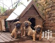 Buull Dogs For Sale Kileleshwa | Dogs & Puppies for sale in Nairobi, Kileleshwa