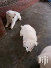 Dogs For Sale Japanese Spitz | Dogs & Puppies for sale in Nairobi, Kileleshwa
