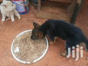 German Shepherd Puppy | Dogs & Puppies for sale in Nairobi, Kahawa
